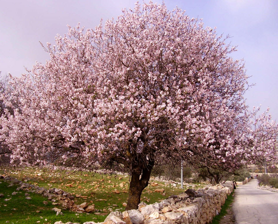 essay on the almond tree