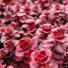 Bears purplish bronze leaves and dark red blooms.