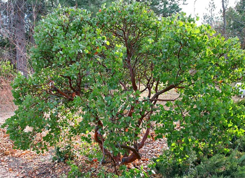 howard manzanita shrub