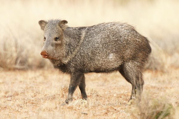 Living with Javelina