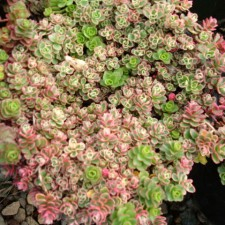 Leaves are variegated in green, creamy white, and pink.
