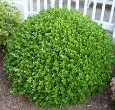 shrub Winter Gem Boxwood
