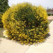 Spanish Broom almost in Late Spring/Early Summer full bloom