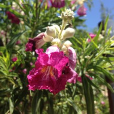 Burgundy Desert Willow