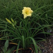 'Fragrant Returns' Daylily