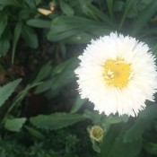 'Crazy Daisy' Bloom