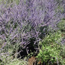 Russian Sage Bloom
