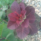 'Royal Purple' Smoke Tree Foliage