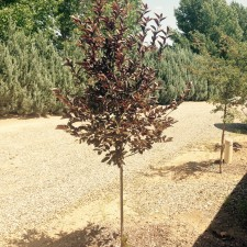Canada Red Chokecherry (Planted Year 2)