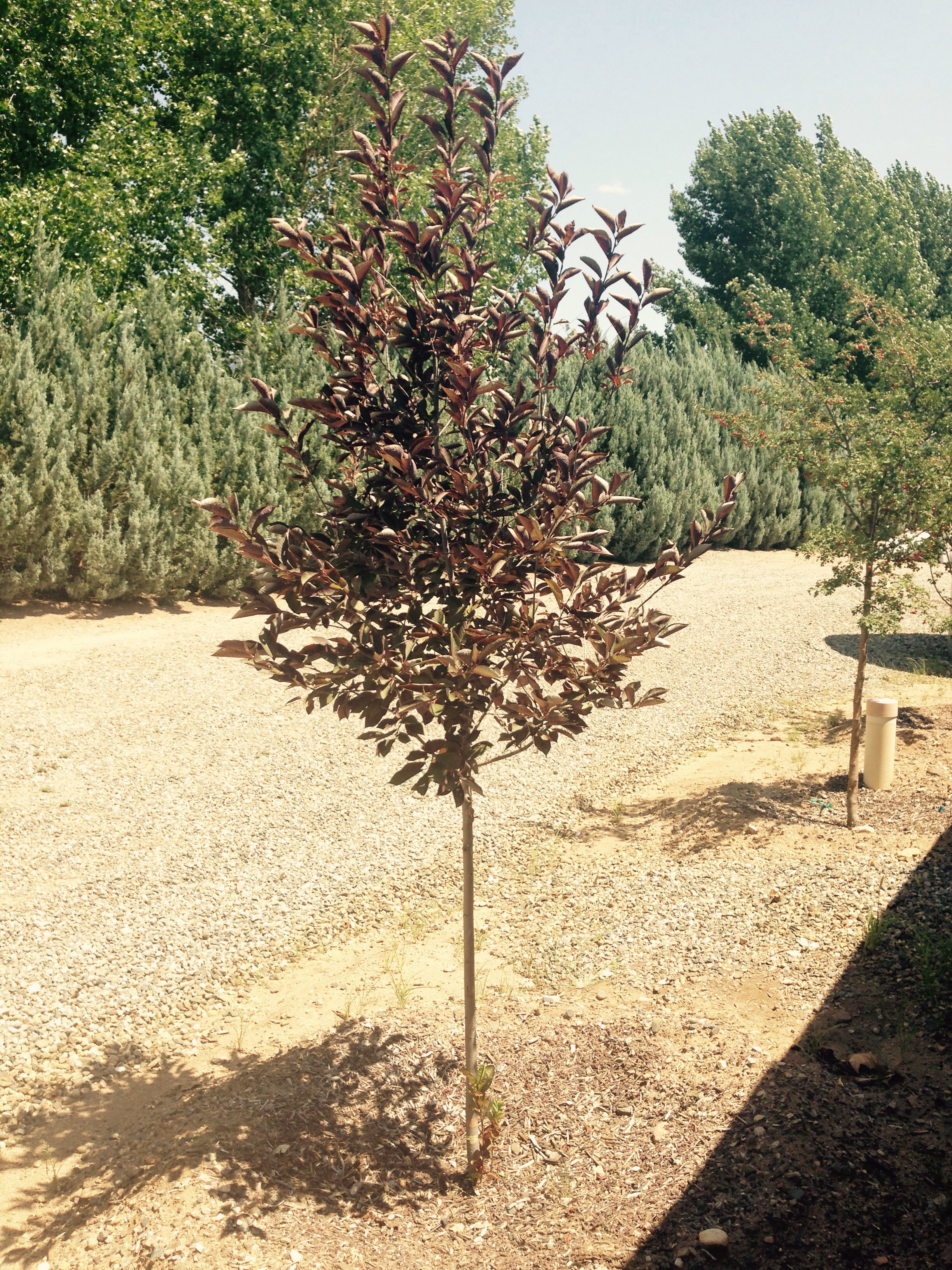 Canada Red Chokecherry Planted Year 2