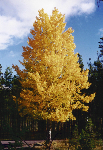 Quaking Aspen Fall