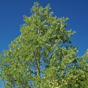 Mature Quaking Aspen