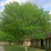 Arizona Ash Tree