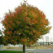 Sensation Box Elder Tree