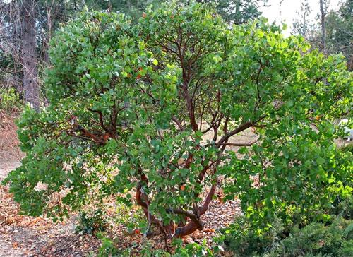 howard manzanita shrub