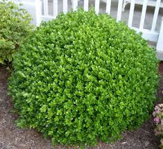 shrub Winter Gem Boxwood
