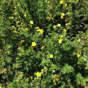 Goldfinger Cinquefoil flowers
